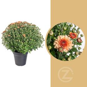 Chryzantéma, Chrysanthemum, kompaktní rostlina 30 - 35 cm, oranžová