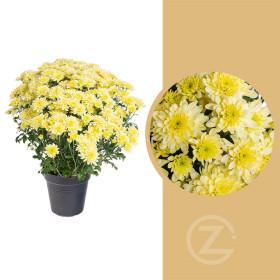 Chryzantéma, Chrysanthemum, kompaktní rostlina 30 - 35 cm, žlutá