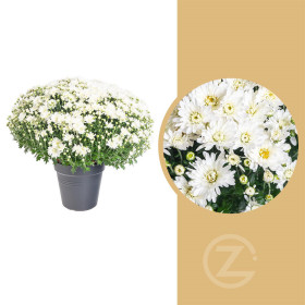 Chryzantéma, Chrysanthemum, kompaktní rostlina 40 - 45 cm, bílá