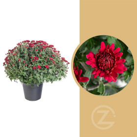 Chryzantéma, Chrysanthemum, kompaktní rostlina 40 - 45 cm, červená