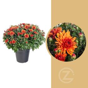 Chryzantéma, Chrysanthemum, kompaktní rostlina 40 - 45 cm, cihlová