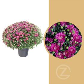 Chryzantéma, Chrysanthemum, kompaktní rostlina 40 - 45 cm, fialová