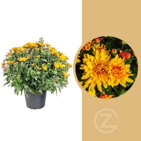 Chryzantéma, Chrysanthemum, kompaktní rostlina 40 - 45 cm, oranžová