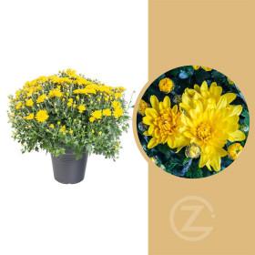 Chryzantéma, Chrysanthemum, kompaktní rostlina 40 - 45 cm, žlutá