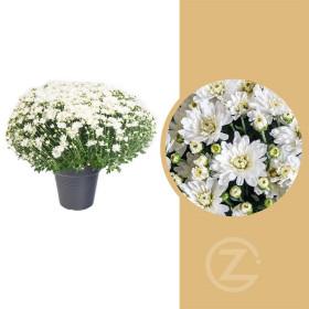 Chryzantéma, Chrysanthemum, kompaktní rostlina 50 - 60 cm, bílá
