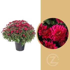Chryzantéma, Chrysanthemum, kompaktní rostlina 50 - 60 cm, červená