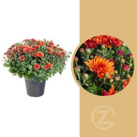 Chryzantéma, Chrysanthemum, kompaktní rostlina 50 - 60 cm, cihlová