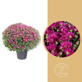 Chryzantéma, Chrysanthemum, kompaktní rostlina 50 - 60 cm, fialová