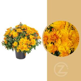 Chryzantéma, Chrysanthemum, kompaktní rostlina 50 - 60 cm, oranžová