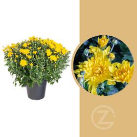 Chryzantéma, Chrysanthemum, kompaktní rostlina 50 - 60 cm, žlutá