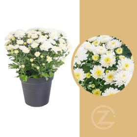 Chryzantéma, Chrysanthemum, průměr květináče 12 cm, bílá