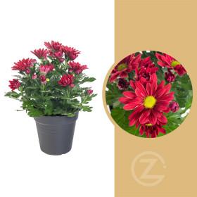 Chryzantéma, Chrysanthemum, průměr květináče 12 cm, červená