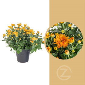 Chryzantéma, Chrysanthemum, průměr květináče 12 cm, oranžová