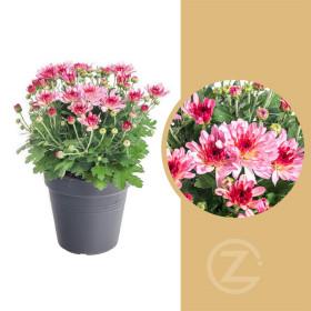 Chryzantéma, Chrysanthemum, průměr květináče 12 cm, růžová