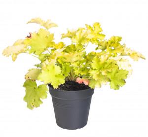 Dlužicha, Heuchera Lime Rickey, žluto - zelená, průměr květináče 12 cm