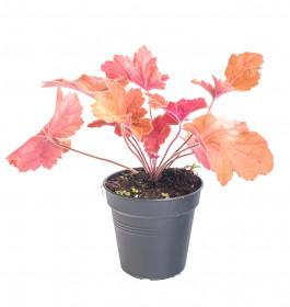 Dlužicha, Heuchera Southern Comfort, oranžová, průměr květináče 12 cm