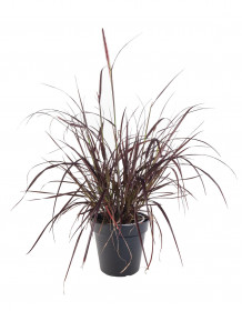 Dochan setý, Pennisetum setaceum Rubrum, velikost kontejneru 2 l