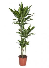 Dračinec, Dracaena Cintho, 3 výhony, průměr květináče 21 cm