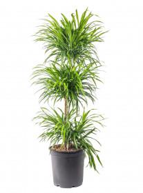 Dračinec reflexa, Dracaena Anita, třípatrová vícekmenná, průměr květináče 27 cm