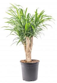 Dračinec reflexa, Dracaena Anita, větvená, průměr květináče 21 cm