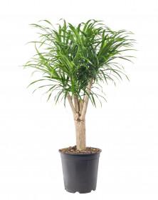 Dračinec reflexa, Dracaena Anita, větvená, průměr květináče 24 cm