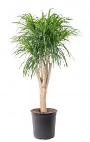 Dračinec reflexa, Dracaena Anita, větvená, průměr květináče 27 cm