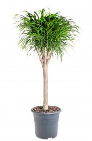 Dračinec reflexa, Dracaena Anita, větvená, průměr květináče 32 cm