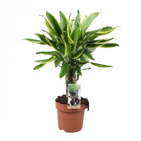 Dračinec vonný, Dracaena fragrans Golden Coast, průměr květináče 17 cm