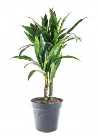 Dračinec vonný, Dracaena fragrans Janet Craig, 2 výhony, průměr květináče 17 cm