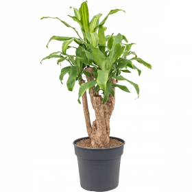 Dračinec vonný, Dracaena fragrans Massangeana, 2 výhony, průměr květináče 17 cm