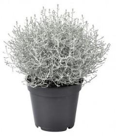Drátovec, Calocephalus, průměr květináče 17 cm