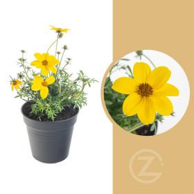 Dvouzubec, Bidens, žlutý, průměr květináče 10 - 12 cm