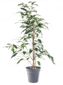 Fíkus, Ficus Benjamina Danielle, průměr květináče 17 cm