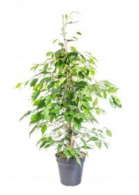 Fíkus, Ficus benjamina Exotica, zelený, průměr květináče 21 cm