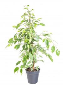 Fíkus, Ficus benjamina Golden King, panašovaný, průměr květináče 17 cm