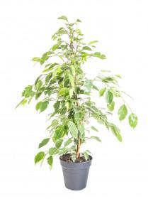 Fíkus, Ficus benjamina Golden King, panašovaný, průměr květináče 21 cm