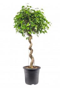 Fíkus, Ficus Benjamina, spirálový kmínek, průměr květináče 32 cm