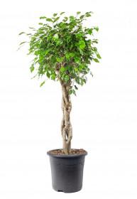 Fíkus, Ficus Benjamina, splétaný kmínek, průměr květináče 32 cm