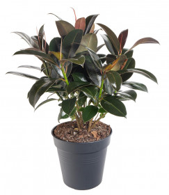 Fíkus, Ficus Elastica Melany, průměr květináče 21 cm