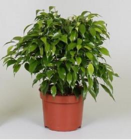 Fíkus, Ficus Green Kinky, průměr květináče 12 cm
