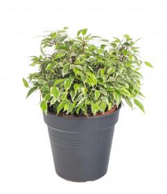 Fíkus, Ficus Kinky, průměr květináče 12 cm