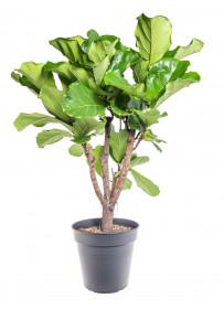 Fíkus, Ficus lyrata, průměr květináče 24 cm