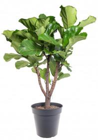 Fíkus, Ficus lyrata, průměr květináče 27 cm
