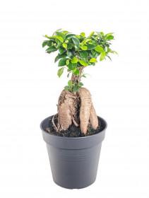 Fíkus, Ficus microcarpa, bonsaj, průměr květináče 12 cm