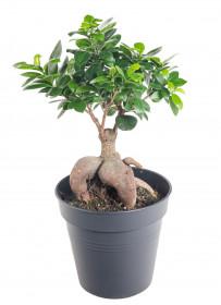 Fíkus, Ficus microcarpa, bonsaj, průměr květináče 16-17 cm