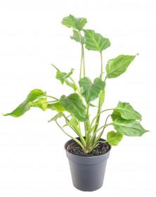Filodendron, Philodendron Xanadu, průměr květináče 12 - 13 cm