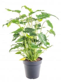 Filodendron, Philodendron Xanadu, průměr květináče 17 cm