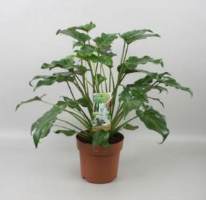 Filodendron, Philodendron Xanadu, průměr květináče 24 cm