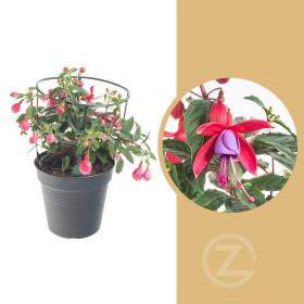 Fuchsie duo, Fuchsia, tříbarevná, průměr květináče 12 - 13 cm