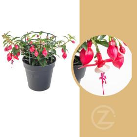 Fuchsie převislá, Fuchsia, dvoubarevná, velikost květináče 11 cm
